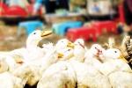 Cà Mau phát hiện ổ dịch cúm gia cầm H5N1