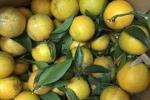 Phân biệt cam Việt và cam Trung Quốc