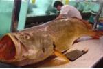 Ngư dân Vũng Tàu bắt được cá sủ vàng trị giá cả tỷ đồng
