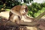 Hai con khỉ quý hiếm đi lạc vào vườn nhà dân