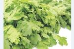 Rau cải cúc chữa các bệnh mùa đông