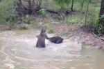 Clip: Cả gan tấn công kangaroo, chó đen nhận cái kết 'đắng'