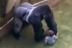 Hé lộ video khỉ đột nắm tay, che chở bé trai 4 tuổi trước khi bị bắn chết