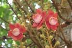 Ảnh: Hoa vô ưu đỏ rực trước cửa chùa Thiên Mụ khiến du khách đắm say