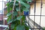 Cách trồng mướp hương sai trĩu quả trong vườn nhà phố