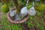 Vườn cây cảnh 10 loại quả độc đáo ở Hà Thành