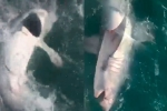 Ngư dân vật lộn bắt cá mập 'khủng' gần 160 kg