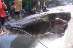Cận cảnh cá lăng 108kg hiếm thấy trên thế giới xuất hiện giữa lòng Hà Nội