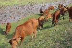Bài toán đàn bò ăn cỏ khiến hàng triệu người không giải được