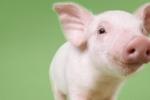 Đột phá trong y học: Ghép nội tạng lợn cho người
