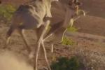 Sư tử hung hăng nhận 'liên hoàn cước' từ hươu cao cổ