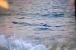 Cá lạ khoảng 1 tấn xuất hiện gần bờ, cấm dân tắm biển