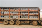 Bắt giữ gần 7 tấn lợn nhiễm bệnh lở mồm long móng suýt tuồn ra thị trường