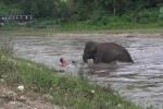 Voi con lao xuống sông, cứu người 'đuối nước'
