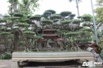 Lộ diện loạt bonsai trăm triệu đồng chơi Tết