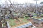Vườn đào bạc tỷ ở Nhật Tân được lắp điều hòa để bung hoa đúng Tết
