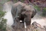 Tê giác mẹ ác chiến voi rừng để bảo vệ con