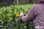 Hoa ly nở sớm ở làng Tây Tựu: 'Hoa cười mà người rơi lệ'