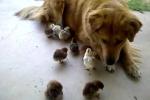 Chuyện lạ: Chó làm 'vú em' của 10 gà con