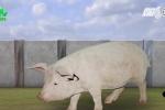 Độc chiêu nuôi heo bằng âm nhạc của người dân Sóc Sơn - Hà Nội