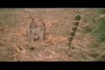 Khỉ đại chiến bất phân thắng bại với hổ mang chúa