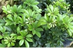 Ngũ gia bì: Loài cây đa năng tốt cho xương khớp