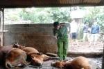Bò chết hàng loạt sau một đêm ở Đắk Lắk