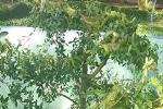 Rùng mình cảnh hàng chục con rắn lục quấn lấy nhau, ngụy trang trên cây si