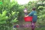 Xã ép dân chặt cây ăn quả sắp thu hoạch