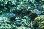 Loài cá giao phối liên tục, tự 'chuyển giới' 20 lần/ngày