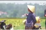Quảng Ngãi: Nông dân khốn đốn vì lúa chín mà không thể thu hoạch