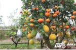 10 triệu đồng cho gốc cây 'kỳ dị' 'đẻ' 10 quả ở Hà Nội