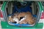 Cẩu tặc dùng súng điện bắn hạ 16 con chó trong 1 đêm