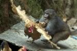 Đặt bẫy bắt khỉ lạ tấn công phụ nữ, giết gà của dân ở Quảng Bình