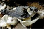 Kỳ lạ hàng ngàn chim yến đổ dồn về Sầm Sơn