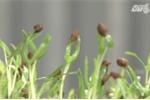 Cẩn trọng với giống rau mầm chứa hóa chất bảo quản