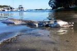 Hàng loạt 'thủy quái' trôi dạt vào bờ biển Australia