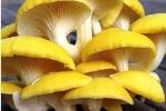 Nghiên cứu thành công quy trình trồng nấm bào ngư vàng hữu cơ