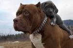 'Hậu duệ' trị giá hơn 2 tỷ đồng của chú pitbull lớn nhất thế giới
