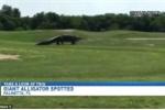 Khiếp vía clip cá sấu khổng lồ như khủng long đi dạo trên sân golf