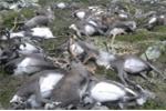 Chuyện kỳ lạ: Sét đánh chết cả bầy tuần lộc hơn 300 con