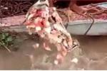 Rùng mình cảnh đàn cá piranha điên cuồng rỉa thịt đầu bò