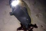 Bình Thuận: Hải cẩu lên bờ nô đùa với dân bị đánh chết