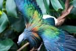 Ngỡ ngàng với vẻ đẹp mê hoặc của loài bồ câu kỳ lạ nhất thế giới