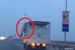 Lợn nhảy xuống từ xe tải đang chạy, cố 'đào tẩu' trên cầu Thăng Long