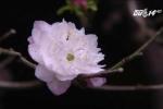Tận mục vườn nhất chi mai bạc tỷ đẹp hiếm có ở Hà Nội