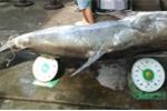 Cá tra dầu nặng 230 kg ở An Giang