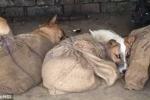 Hình ảnh nạn buôn lậu chó ở Ấn Độ khiến ai nhìn cũng 'sốc'