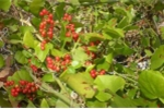 Tìm loài kỳ thảo ở 'thung lũng trường thọ' nổi tiếng xứ Mường
