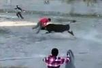 Clip: Liên tiếp xuất hiện bò tót tấn công người ở Phú Yên